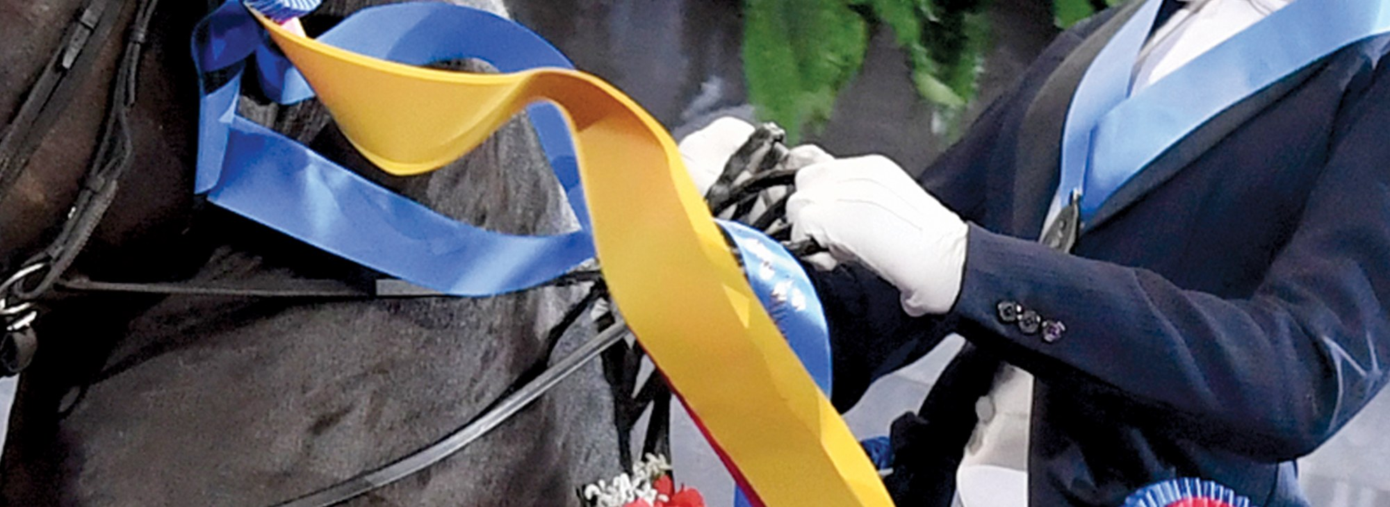 Ribbons flowing from a Morgans bridle