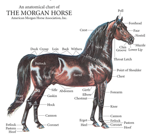 American Morgan Horse Association Ideal Morgan,How To Cook Carrots Only